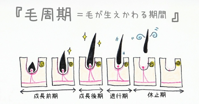 毛周期 退行期 成長期 休止期 効果 部位
